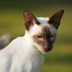 сиамская кошка, фото10