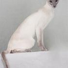 сиамская кошка, фото11