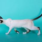 сиамская кошка, фото12