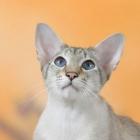 сиамская кошка, фото13