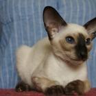 сиамская кошка, фото14