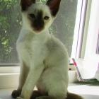 сиамская кошка, фото15