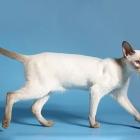 сиамская кошка, фото16