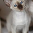 сиамская кошка, фото2