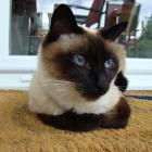 сиамская кошка, фото3