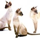 сиамская кошка, фото4