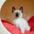 сиамская кошка, фото5