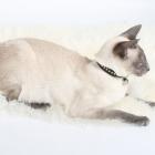 сиамская кошка, фото7