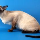 сиамская кошка, фото8