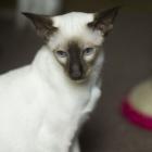 сиамская кошка, фото9
