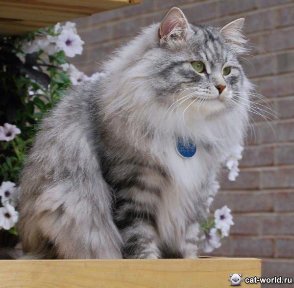 Сибирская кошка фото цена окрасы видео характер