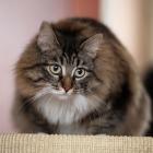 Сибирская кошка, фото1
