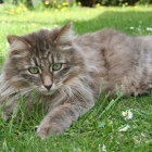 Сибирская кошка, фото10