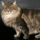 Сибирская кошка, фото11