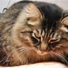 Сибирская кошка, фото12