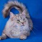 Сибирская кошка, фото13