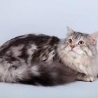 Сибирская кошка, фото15