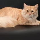 Сибирская кошка, фото16