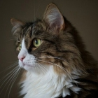 Сибирская кошка, фото2