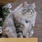 Сибирская кошка, фото3