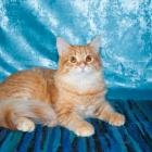 Сибирская кошка, фото4