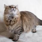 Сибирская кошка, фото5