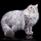 Сибирская кошка, фото6