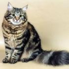 Сибирская кошка, фото7