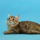 Сибирская кошка, фото8