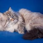 Сибирская кошка, фото9