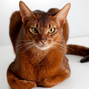 abyssinian-cat-wallpapers-01