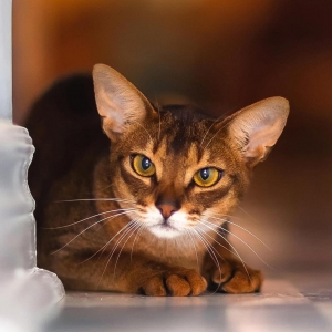 abyssinian-cat-wallpapers-02