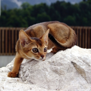 abyssinian-cat-wallpapers-04