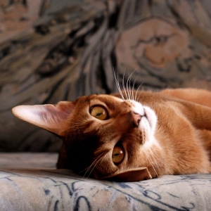 abyssinian-cat-wallpapers-06