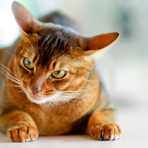 abyssinian-cat-wallpapers-08