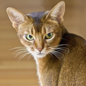 abyssinian-cat-wallpapers-09