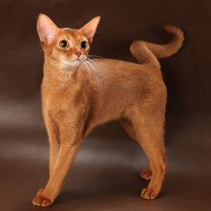abyssinian-cat-wallpapers-10