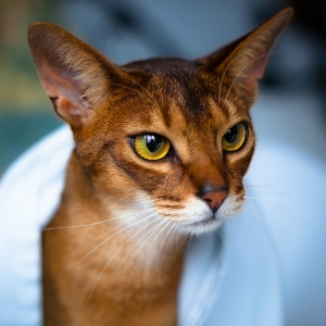 abyssinian-cat-wallpapers-11