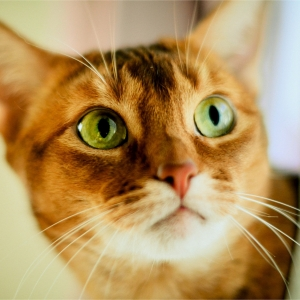 abyssinian-cat-wallpapers-13