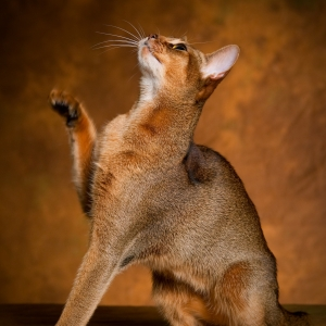abyssinian-cat-wallpapers-15