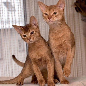 abyssinian-cat-wallpapers-16