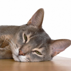 abyssinian-cat-wallpapers-17