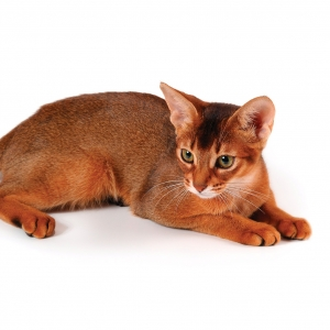 abyssinian-cat-wallpapers-18