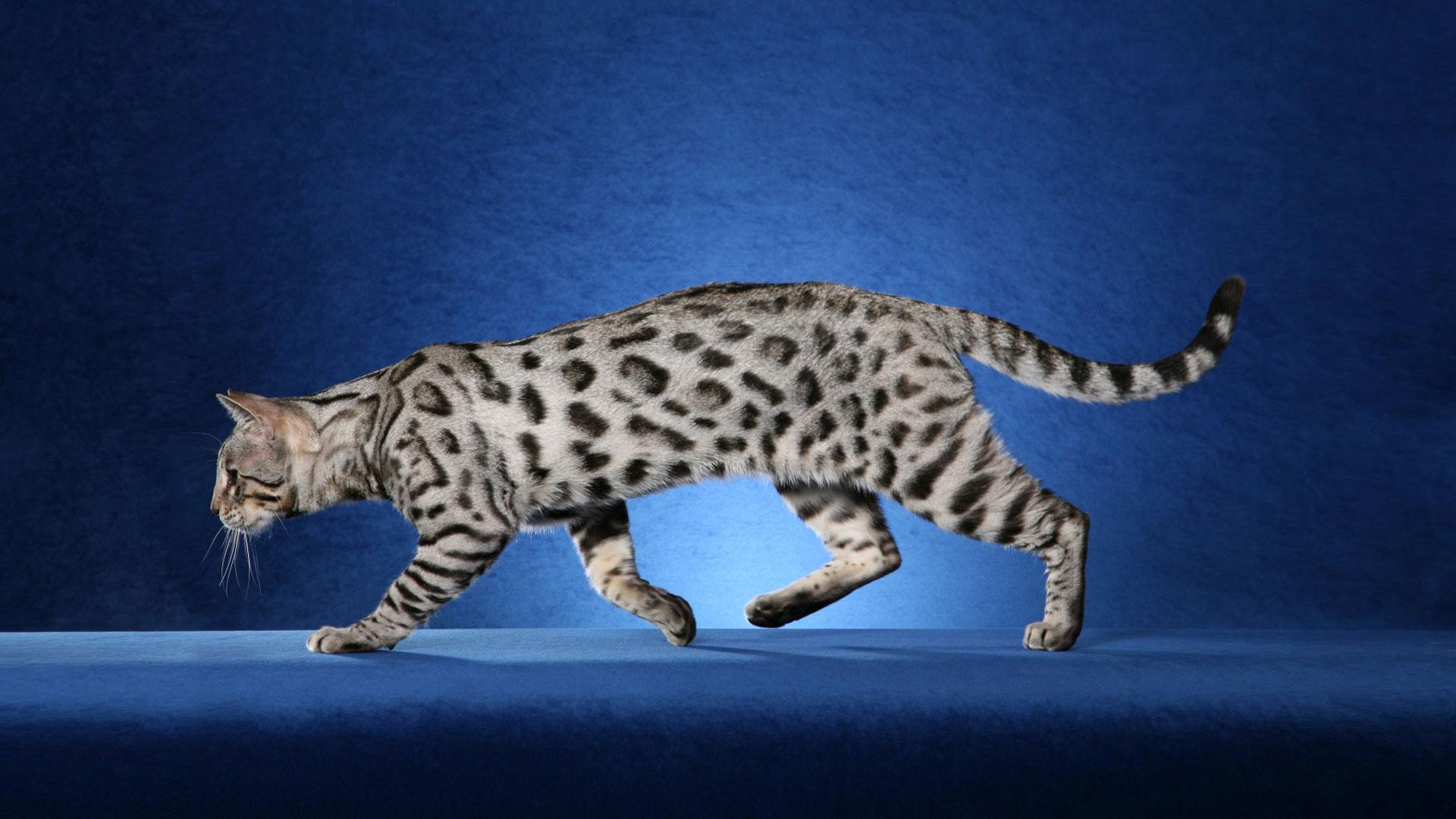 White bengal cat price
