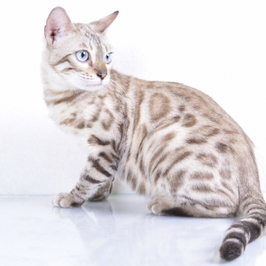 bengal-cat-wallpapers-03