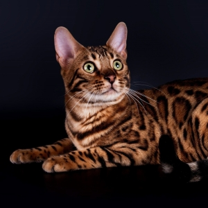bengal-cat-wallpapers-04