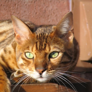 bengal-cat-wallpapers-06