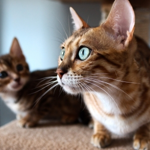 bengal-cat-wallpapers-07