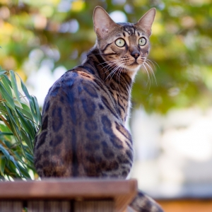 bengal-cat-wallpapers-09