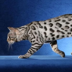 bengal-cat-wallpapers-10